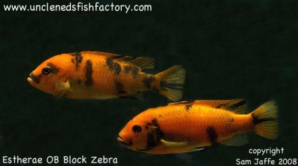 Estherae Red OB Block Zebra