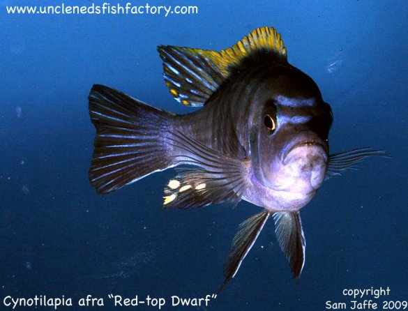 Cynotilapia afra - Red Top Dwarf
