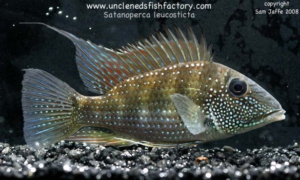 ... Uncle Neds Larger South American Cichlids Satanoperca leucosticta