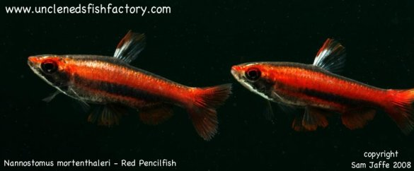 Nannostomus mortenthaleri - Coral, Ruby, Peruvian Red Pencilfish